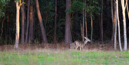 Whitetail doe and yearling eating in North Carolina before sunset