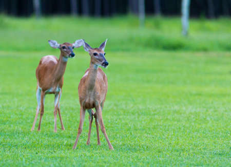 Two whitetail deer does on a green field in North Carolina Stock Photo