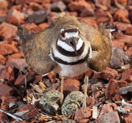 Alarm and defenses go up in a killdeer guarding its nest and eggs 版權商用圖片