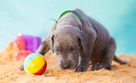 Great Dane purebred puppy smelling for something on the sand