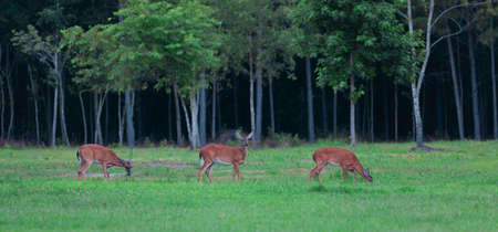 Three whitetail deer does on a summer field in North Carolina