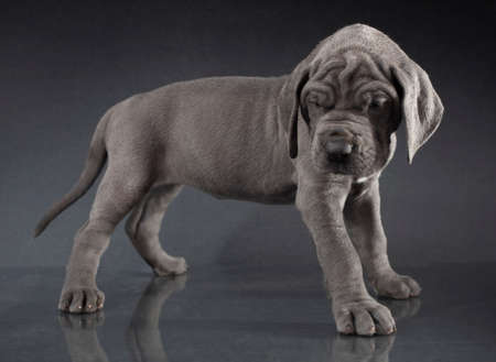 Purebred Great Dane puppy that looks like it is ready to rumble Reklamní fotografie
