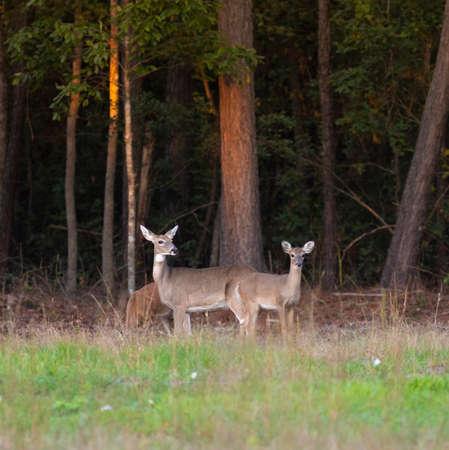 Two whitetail yearlings with their doe near Raeford North Carolina Archivio Fotografico - 135531903