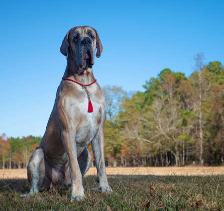 Great Dane purebred dog on a fall field that looks lonely Archivio Fotografico - 135532880