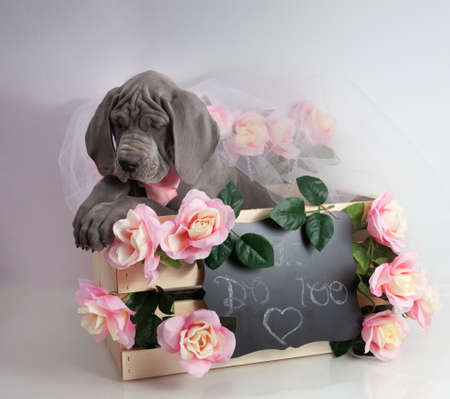Gray purebred Great Dane puppy dozing off in a box on wedding day