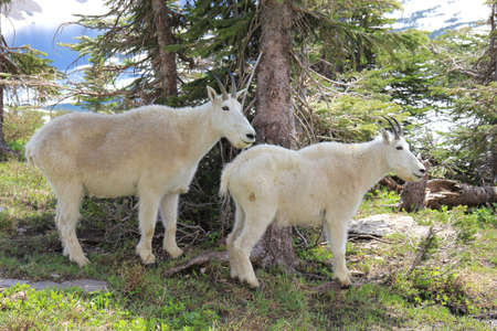 Two goats in Glacier National Park Stok Fotoğraf