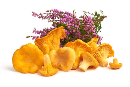 Raw fresh chanterelles mushrooms with forest heather, isolated on white background