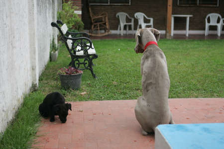 bred: Weimaraner Teenager sitting with a no bred black puppy  From Behind