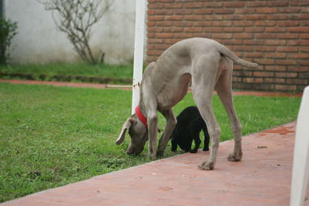 bred: Weimaraner Teenager with a no bred black puppy