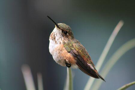 rufous: rufous hummingbird sitting on a spring Stock Photo