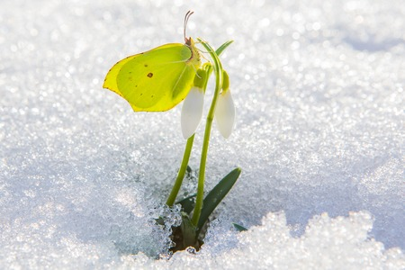 Beautiful yellow butterfly sits on first spring snowdrop flower coming out from real snow. Archivio Fotografico