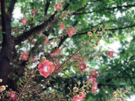 Cannonball flower, sal flower