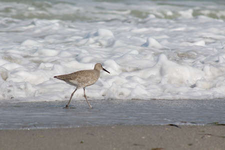 piper: Sand Piper on the edge of the tide