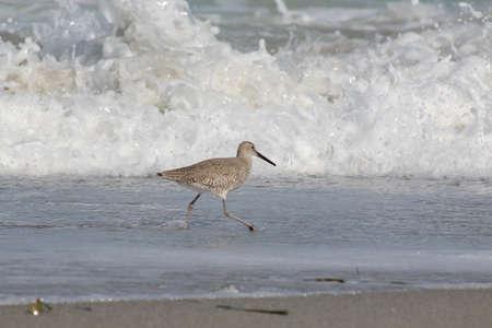 Sandpiper bird on the beach