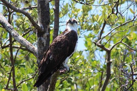 osprey bird: Osprey bird in tree