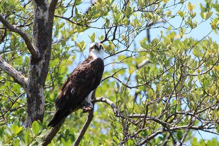 Osprey in tree Reklamní fotografie
