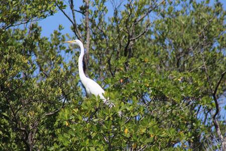 Great White Egret Reklamní fotografie