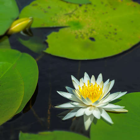 nymphaea odorata: White Water Lily