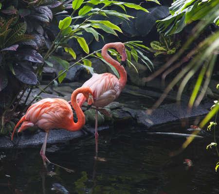 stepping: goose stepping flamingo Stock Photo