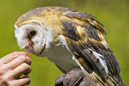 owl feeding 版權商用圖片
