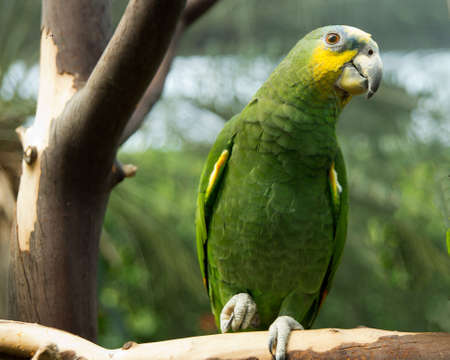 polly: Orange wing Amazon parrot