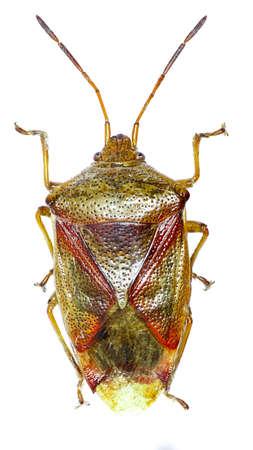 shieldbug: Birch Shield Bug on white background - Elasmostethus interstinctus (Linnaeus, 1758)