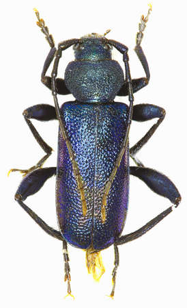long horn beetle: Violet Longhorn Beetle on white background - Callidium violaceum (Linnaeus 1758)