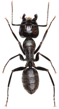 Carpenter Ant on white background - Camponotus vagus (Scopoli, 1763)