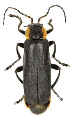 cantharis: Black Soldier Beetle on white background - Cantharis paradoxa (Hicker, 1960)