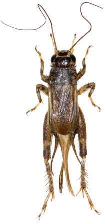 cricket insect: Cricket (insect) on white background - Eumodicogryllus bordigalensis (Latreille, 1804)