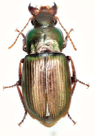 carabidae: Green Ground Beetle Harpalus on white background - Harpalus affinis (cupboard 1781) Stock Photo