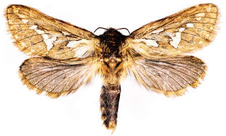 imago: Common Swift Moth on white background - Korscheltellus lupulinus (Linnaeus, 1758) Stock Photo