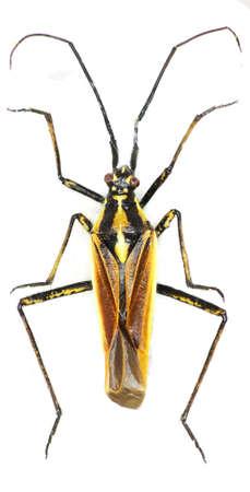 pentatomidae: Meadow Plant Bug on white background - Leptopterna dolobrata (Linnaeus, 1758)
