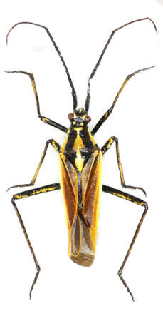 shieldbug: Meadow Plant Bug on white background - Leptopterna dolobrata (Linnaeus, 1758)