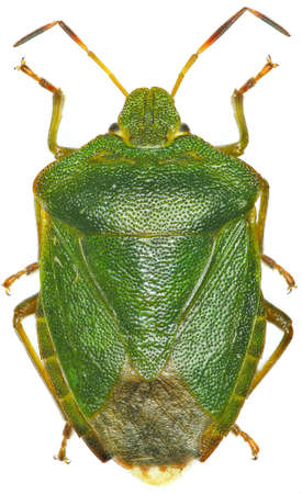 prasina: Green shield bug on white background - Palomena prasina (Linnaeus, 1761) Stock Photo
