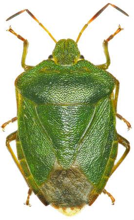 shieldbug: Green shield bug on white background - Palomena prasina (Linnaeus, 1761) Stock Photo