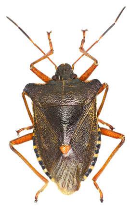 shieldbug: Forest bug on white background - Pentatoma rufipes (Linnaeus, 1758) Stock Photo