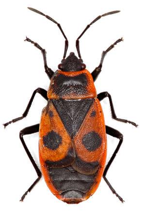 firebug: The Firebug on white background - Pyrrhocoris apterus (Linnaeus, 1758)