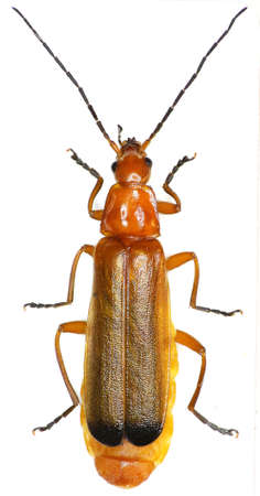 Red Soldier Beetle on white background - Rhagonycha fulva (Scopoli, 1763)
