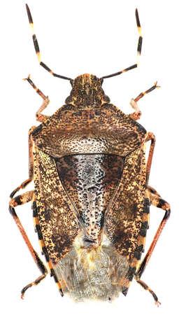 pentatomidae: Mottled shield bug on white background - Rhaphigaster nebulosa (Poda, 1761)