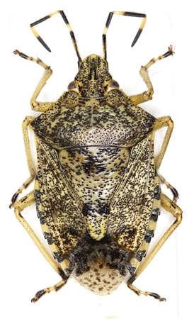 chitin: Mottled shield bug on white background - Rhaphigaster nebulosa (Poda, 1761)
