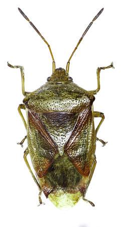 shieldbug: Birch Shield Bug on white Background - Elasmostethus interstinctus (Linnaeus, 1758) Stock Photo