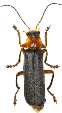 cantharis: Soldier Beetle on white Background - Cantharis pellucida (Fabricius, 1792)