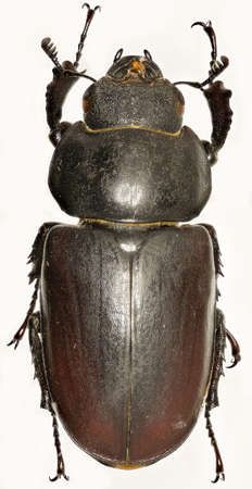 lucanus: The stag beetle on white Background - Lucanus cervus (Linnaeus, 1758)