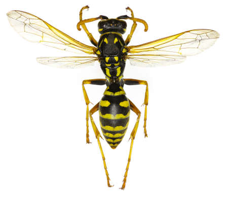 nympha: The European Paper Wasp on white Background - Polistes dominula (Christ, 1791) Stock Photo