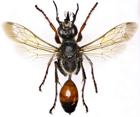digger: Golden Digger Wasp on white Background - Sphex funerarius (Gussakovskij, 1934)