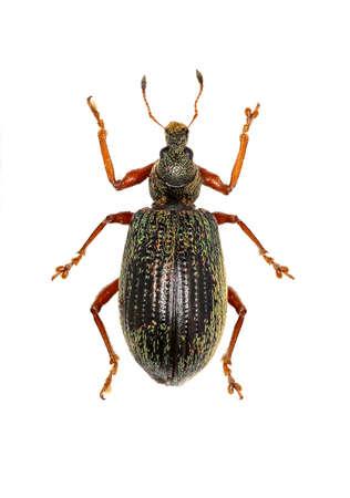 weevils: Broad-nosed Weevils on white Background - Polydrusus (Eudipnus) mollis (Stroem, 1768)