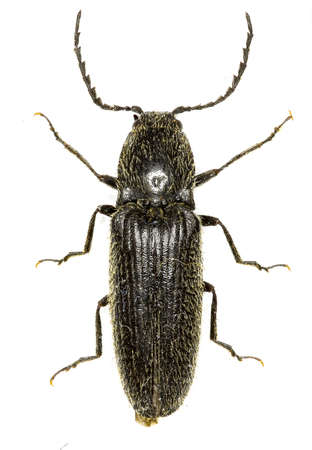 elateridae: ClickBeetle Hemicrepidius on white Background - Hemicrepidius niger (Linnaeus, 1758)