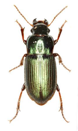 carabidae: Green Ground Beetle Harpalus on white Background - Harpalus affinis (Schrank 1781)