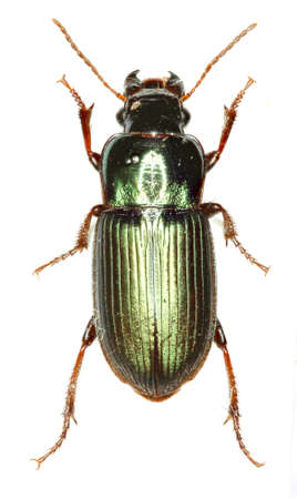 Green Ground Beetle Harpalus on white Background - Harpalus affinis (Schrank 1781)